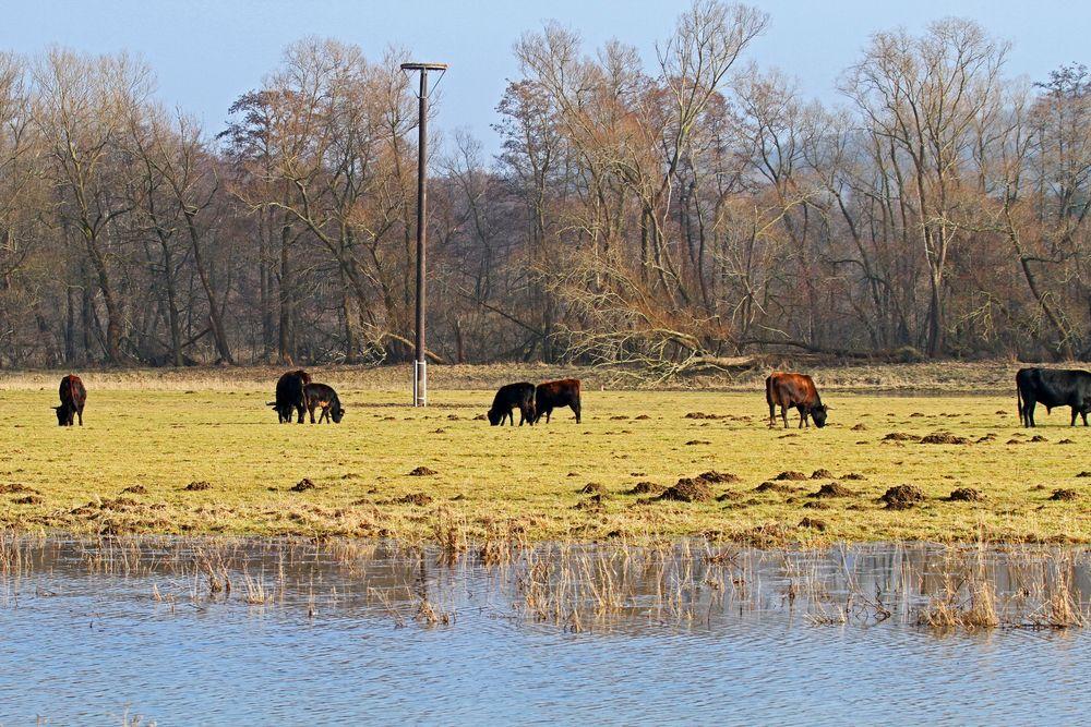 Einweihung und Übergabe folgt: Landschaftspfleger und Besucherlenker: die Heckrinder im NSG Kiebitzwiese vor der neuen Nisthilfe, Foto: Gregor Zosel