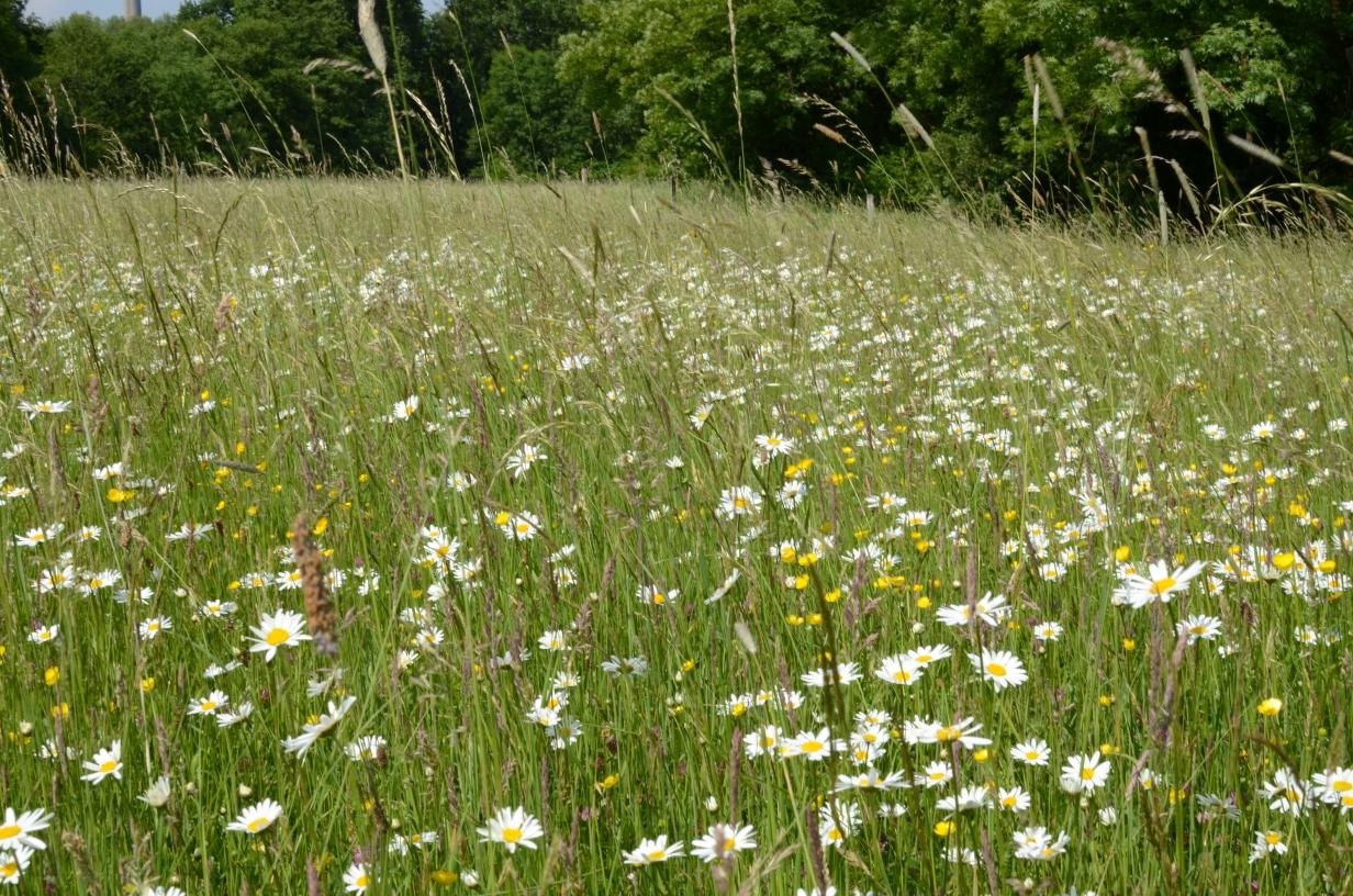 die weißblühende Margerite (Leucanthemum vulgare agg.) mag es nährstoffarm - nur eine extensive Nutzung erhält die Artenvielfalt der Grünlandflächen