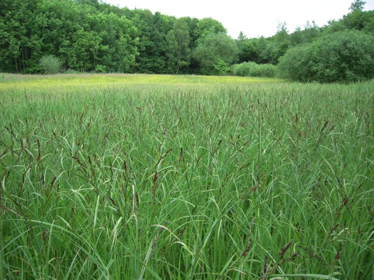 typisch ausgebildeter Einartbestand - die Ufer-Segge (Carex riparia) darf sich breit machen