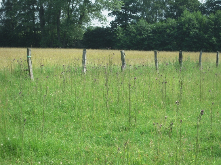 die Blütenköpfe der Sumpf-Kratzdistel (Cirsium palustre) werden gerne von Stieglitzen (Carduelis carduelis) aufgesucht