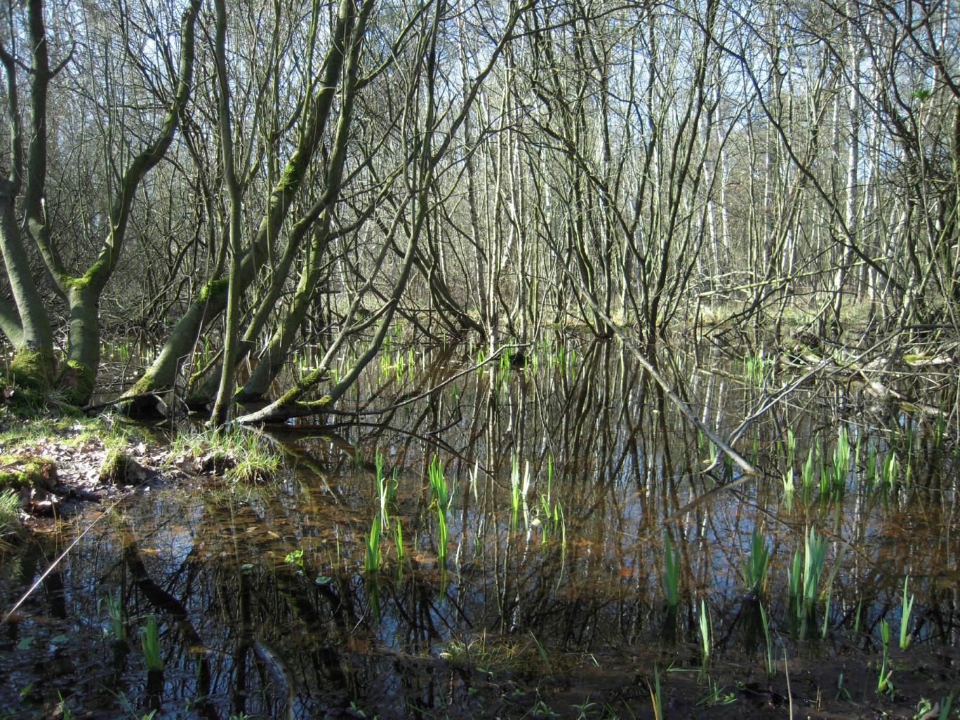 die Wasser-Schwertlilie (Iris pseudacorus) macht ihrem Namen alle Ehre und steckt bereits früh im Jahr ihre schwertförmigen Blätter aus dem Sumpf