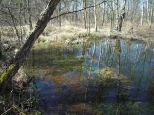 Krautreicher, besonnter Bombentrichter – hier laicht der Kammmolch in den Blättern der Unterwasserpflanzen ab.
