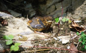 Jungvogel, Foto: G. Hellmann LANUV