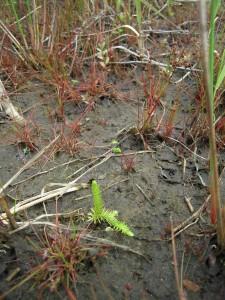 Klein, unscheinbar und doch faszinierend – der gefährdete Sumpf-Bärlapp (Lycopodiella inundata) konnte 2012 erstmals im LB 129 festgestellt werden.
