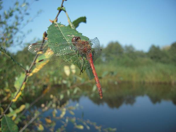 Nutzte an den letzten Sonnentagen Ende Oktober noch schnell die neu abgeschobene Freifläche für die Eiablage – die Große Heidelibelle (Sympetrum striolatum).