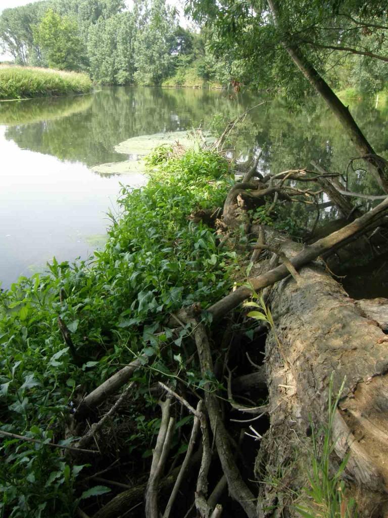 In die Lippe ragendes Totholz, wie hier bei der Kläranlage Bork, reichert die amphibischen und aquatischen Lebensräume um auentypische Sonderstrukturen an