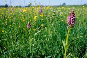 Orchideenwiese in der östlichen Lippeaue (Foto: Bernd Margenburg)