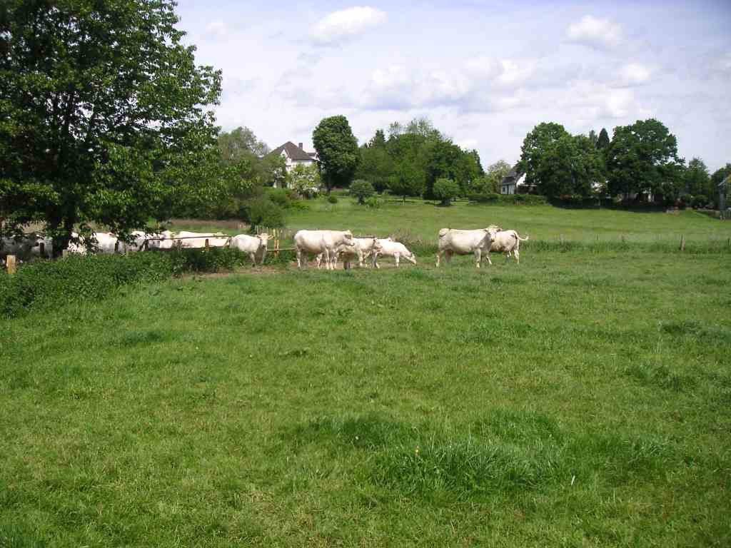 Beste Landschaftspfleger – Mutterkühe auf extensiver Standweide