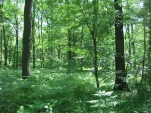 Alter Stieleichenwald mit Naturverjüngung