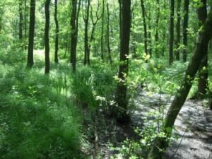 Schmaler, bachbegleitender Erlenwald mit Sumpfschwertlilie