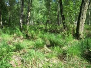 Lichter Birkenwald mit Torfmoosen und Pfeifengras im Unterwuchs