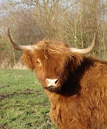 ... und eine der Hauptfiguren: Schottisches Hochlandrind