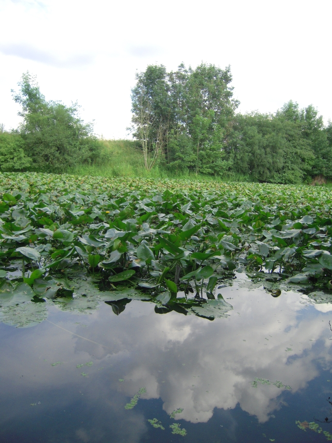 die Gelbe Teichrose (Nuphar lutea) ist eine typische Art nährstoffreicher Stillgewässer