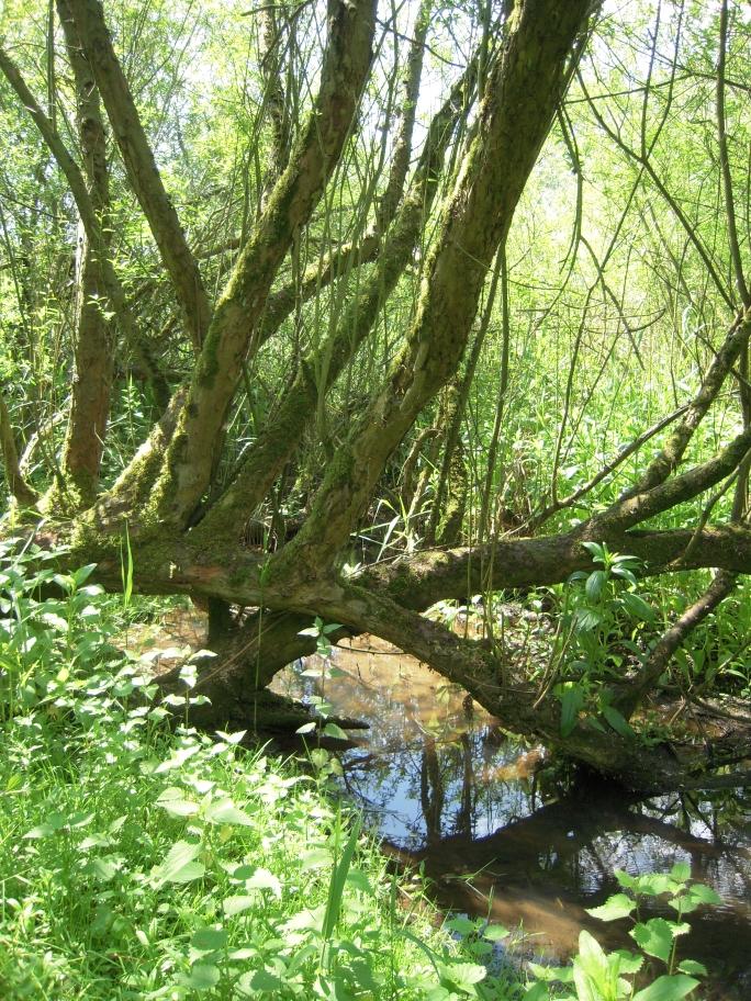 die Mandel-Weide (Salix triandra) ist eine Charakterart der lippetypischen Korbweiden-Mandelweidengebüsche - im Bereich des Auwaldes Mittlake geht diese Pflanzengesellschaft über in einen Silberweiden-Auwald mit Silber-Weiden (Salix alba)