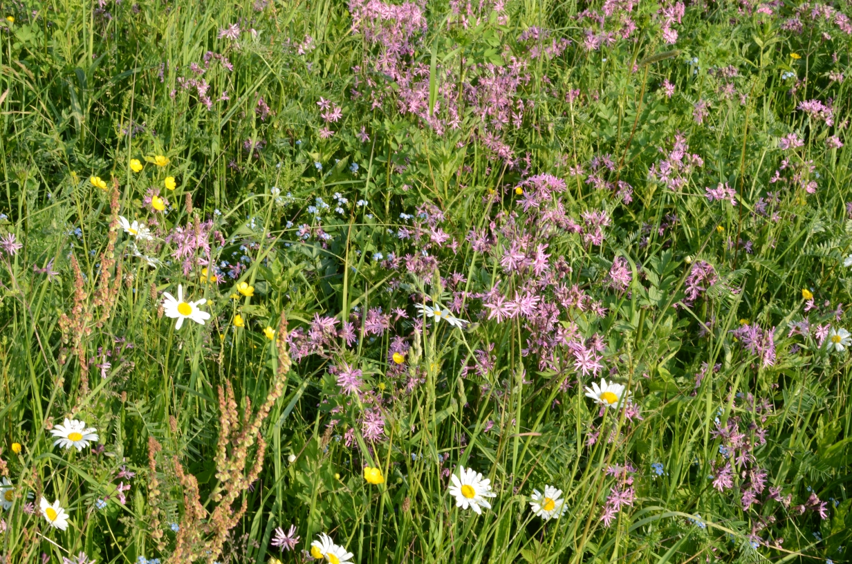 hier wachsen rund 50 typische Grünlandpflanzen - viele davon sind auf feuchte/nasse und/oder nährstoffarme Verhältnisse angewiesen - Flächen wie diese sind im Kreis Unna extrem selten geworden