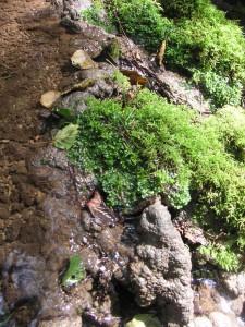 Kalkablagerungen und Kalktuff im Bereich des Mooswachstums