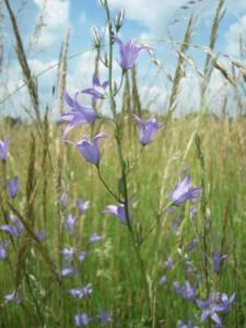 Das Spendermaterial – Rapunzel-Glockenblume und Co. Warten darauf geerntet zu werden
