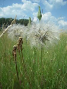 Blick in die Zukunft – nicht per Wind aber vielleicht per Mahdgutübertragung auf der zukünftigen Wiesenfläche etablierter Wiesen-Bocksbart