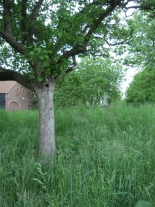 Apfelbaum mit Höhle bei Waterhues - ein Steinkauz passt hier zwar nicht rein, aber vielleicht findet sich ja ein anderer Bewohner
