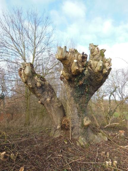 diese mächtige, von Efeu umrankte Kopfbaumesche ist zwar altersbedingt auseinandergebrochen aber immer noch voll vital (und wie es aussieht, auch immer noch vom Eschentriebsterben verschont)