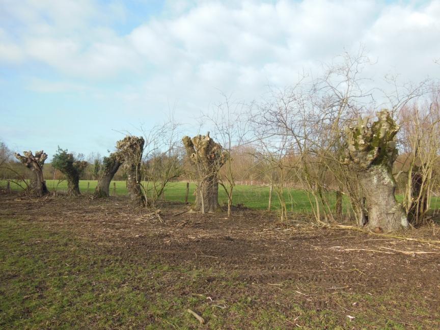bei diesen Kopfbäumen wurde die Hecke, in der die Bäume wachsen, mit auf den Stock gesetzt